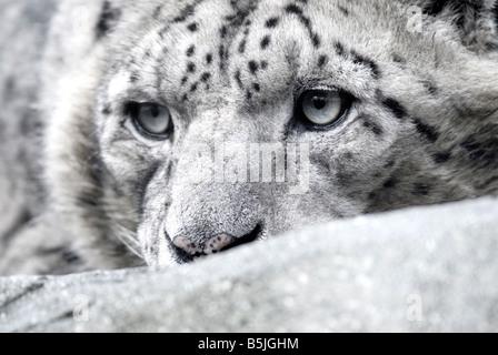 SNOW LEOPARD Panthera uncia - Stock Photo