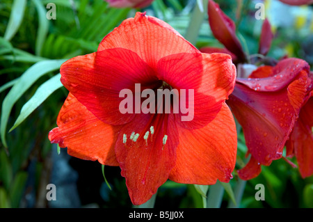 Amaryllis `Red Lion` - Stock Photo