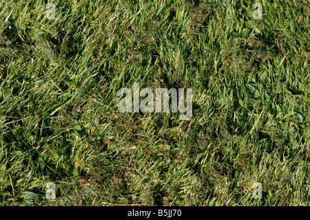Rough lawn with fine much after mowing with a rotary mulching mower - Stock Photo