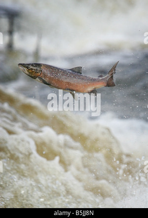 Wild salmon leaping upstream at the  Philiphaugh cauld near at Selkirk in the Scottish Borders - Stock Photo