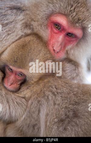Snow Monkeys in Jigokudani National Monkey Park Nagano Japan - Stock Photo
