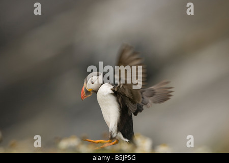 Puffin Atlantic Fratercula landing from flight in a daisey field on Skomer Island, Prembrokeshire UK - Stock Photo