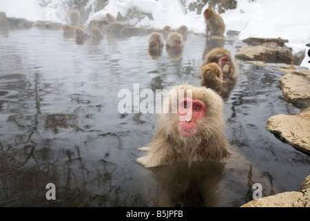 Jigokudani National Monkey Park, Nagano, Japan: Japanese Snow Monkeys (Macaca fuscata) in winter - Stock Photo