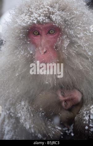 Jigokudani National Monkey Park, Nagano, Japan: Japanese Snow Monkeys (Macaca fuscata) in winter - Stock Photo