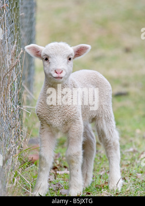 great image of a cute baby lamb - Stock Photo