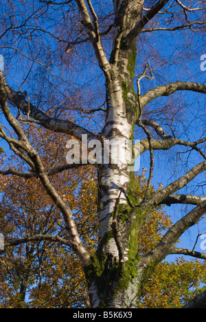 Silver Birch Tree with Common Beech Behind with Fine Autumn Tints Lake District National Park Cumbria UK - Stock Photo