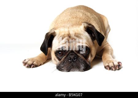 Guilty Pug - Stock Photo