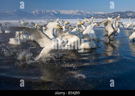 Hokkaido Japan Herd of Whooper Swans Cygnus cygnus gathered in open water on frozen Lake Kussharo Akan National - Stock Photo