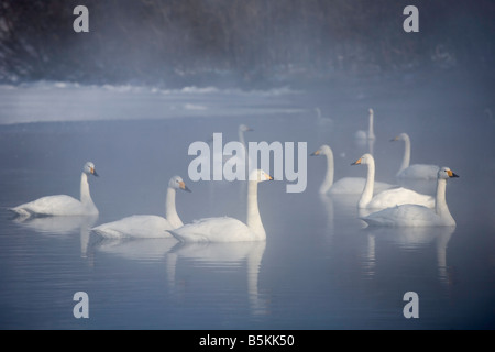 Hokkaido Japan Whooper Swans Cygnus cygnus swiming in the misty open waters of frozen Lake Kussharo Akan National - Stock Photo