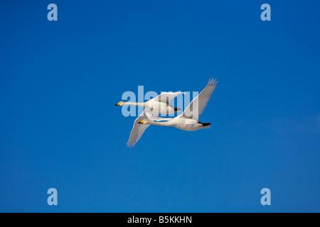Hokkaido Japan Whooper Swans Cygnus cygnus flying in a blue sky Lake Kussharo Akan National Park - Stock Photo