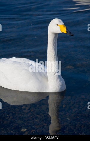 Hokkaido Japan Single Whooper Swan Cygnus cygnus on an open section of frozen Lake Kussharo Akan National Park - Stock Photo