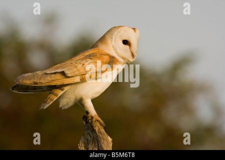 Barn Owl Tyto Alba adult perched on dead tree stump Norfolk UK - Stock Photo