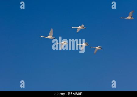 Hokkaido Japan Whooper Swans Cygnus cygnus flying in a vee formation over Lake Kussharo Akan National Park - Stock Photo