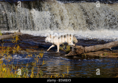Gray Wolf hunting on the Kettle River below a waterfall in Banning State Park Minnesota - Stock Photo