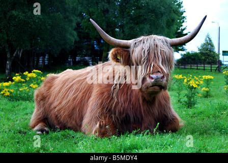 Highland cow near Ben Nevis distillery, Fort William, Scotland, UK - Stock Photo