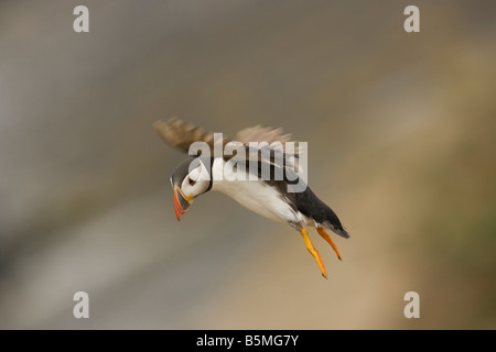 Puffin Atlantic Fratercula landing from flight on Skomer Island, Prembrokeshire UK - Stock Photo