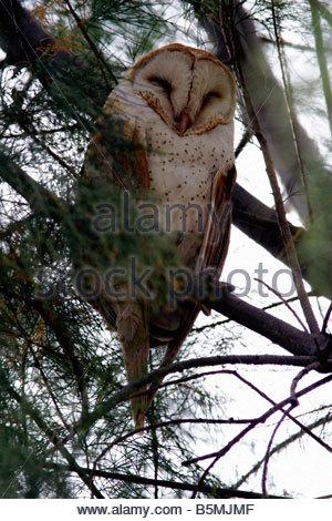 Barn Owl Tyto alba perched sleeping in tree - Stock Photo