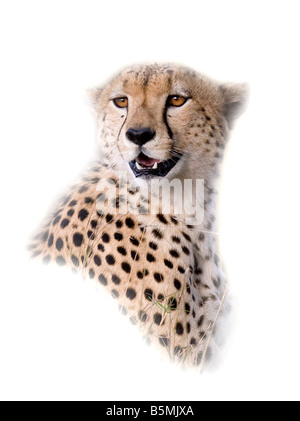 Cheetah portrait in evening light - Stock Photo