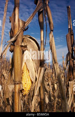 A dried corn cob left over in a spent corn field - Stock Photo