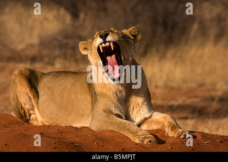 Lioness yawning,Etosha National Park,Namibia,Africa - Stock Photo