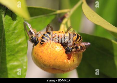 COMMON WASP Paravespula vulgaris EATING CITRUS LEMON FLORENTINA - Stock Photo