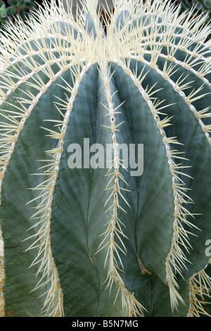 Cactus, Ferocactus glaucescens From N E Mexico, closeup. - Stock Photo