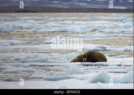 Walrus on pack-ice - Stock Photo