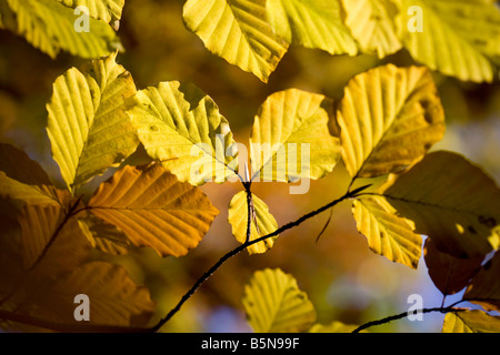 Branches of golden Beech leaves against a blue sky in Autumn - Stock Photo