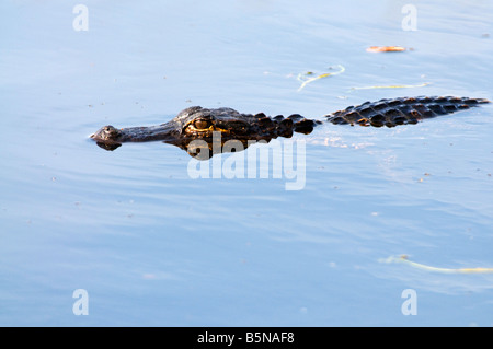 American Alligator Alligator mississippiensis is native only to the southeastern United States. - Stock Photo