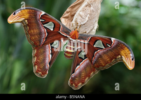 An Atlas Moth, the largest known moth species in the world. - Stock Photo