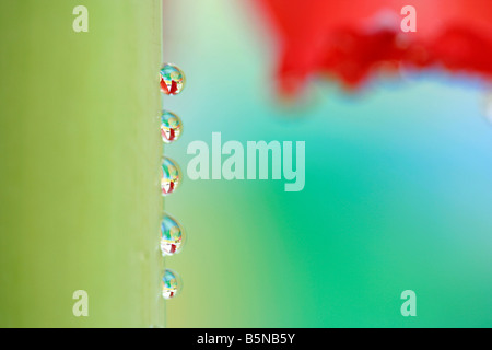 Stem with droplets Hippeastrum hybr - Stock Photo