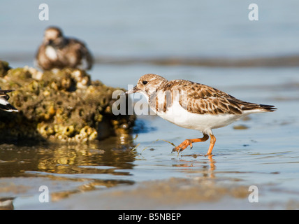 The ruddy turnstone, Arenaria interpres, is a small wading highly migratory bird. - Stock Photo
