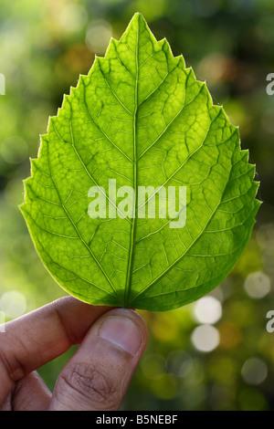 Hibiscus Leaf - Stock Photo