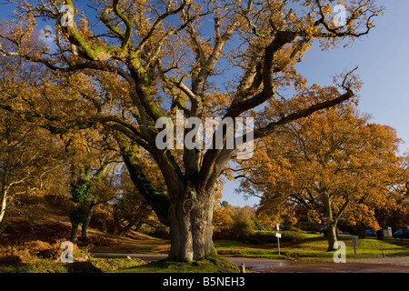 Ancient pollarded common oak Quercus robur at Moyles Court New Forest in autumn Hants - Stock Photo