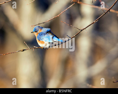 The Eastern Bluebird Sialia sialis is a medium sized thrush found in open woodlands farmlands and orchards. - Stock Photo