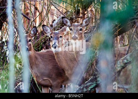 White tailed deer, Odocoileus virginianus, in the woods, on the shore of the Chesapeake Bay, Annapolis, Maryland. - Stock Photo