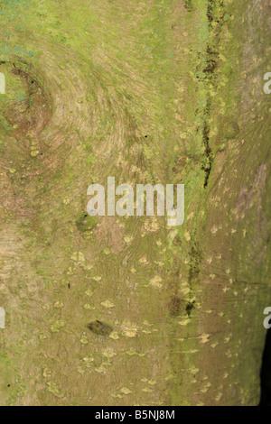 common holly Ilex aquifolium CLOSE UP OF BARK ON MATURE TREE - Stock Photo