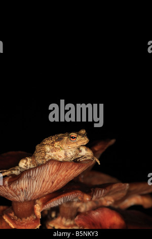 COMMON TOAD Bufo bufo SITTING ON TOADSTOOL FRONT VIEW - Stock Photo