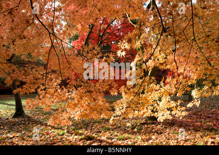 Colourful Japanese maple trees in autumn colours Westonbirt Arboretum Tetbury UK - Stock Photo