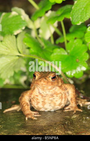 COMMON TOAD Bufo bufo SITTING AMONGST HERBS AT NIGHT - Stock Photo