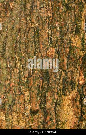 magnolia campbellii ssp mollicomata CLOSE UP OF BARK ON MATURE TREE - Stock Photo