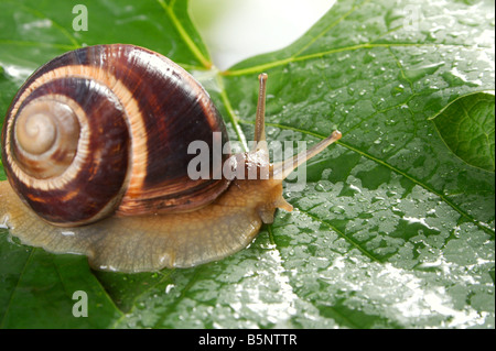 Grape snail on a sheet of a grapes in drops of a rain - Stock Photo
