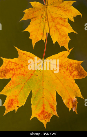 Leaves of Norway Maple Acer platanoides in autumn strongly coloured Dorset - Stock Photo