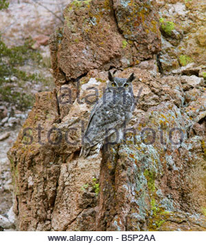 Great Horned Owl Bubo virginianus perched sitting rock colorful colourful background - Stock Photo