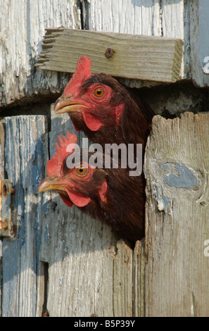 Two Rhode Island Red hens stick their heads out through a slot in the door of the chicken coop - Stock Photo