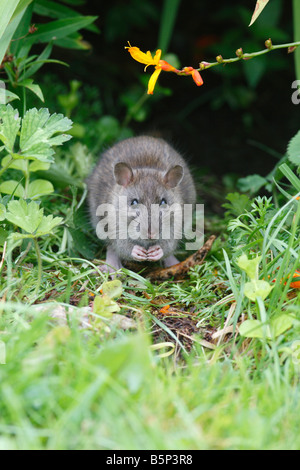 BROWN RAT Rattus norvegicus EATING SEED FRONT VIEW - Stock Photo