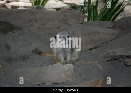 A meerkat or suricate (Suricata suricatta) is a small mammal and a member of the mongoose family. - Stock Photo