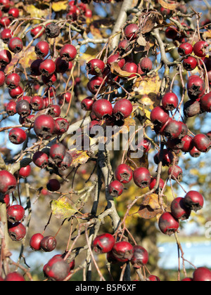 Hawthorn bush in late autumn - Stock Photo