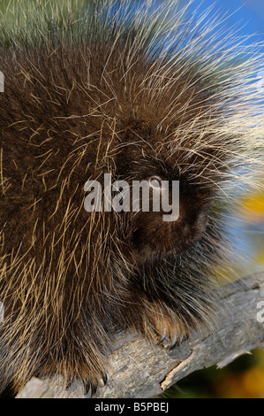 Close up of a Porcupine face quills and claws on a dead tree in Autumn - Stock Photo