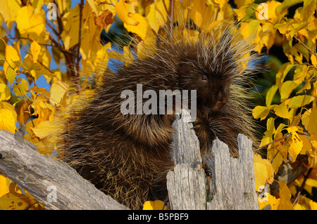 North American Porcupine holding on to a dead tree stump with yellow Birch leaves in the Fall Erethizon Dorsatum - Stock Photo